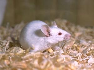 ネズミの画像 p1_21